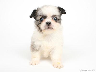チワワ × ペキニーズ ミックス│原宿店│P\u0027s,first│子犬や子猫を最優先に考えたペットショップ