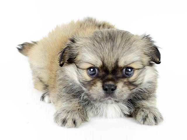 ペキニーズ × チワワ ミックス│お台場店│P\u0027s,first│子犬や子猫を最優先に考えたペットショップ